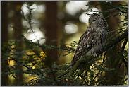 im lichten Wald... Habichtskauz *Strix uralensis*