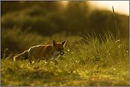 im späten Licht... Rotfuchs *Vulpes vulpes*