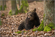 Jungbär... Europäischer Braunbär *Ursus arctos*
