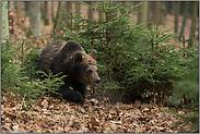 durch's Unterholz... Europäischer Braunbär *Ursus arctos*