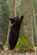 da will ich hoch... Europäischer Braunbär *Ursus arctos*