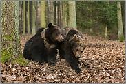 Geschwister... Europäische Braunbären *Ursus arctos*