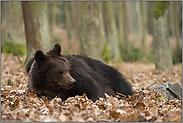 herausfordernd... Europäischer Braunbär *Ursus arctos*