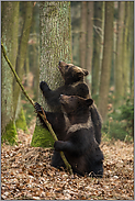 im Wettbewerb... Europäische Braunbären *Ursus arctos*