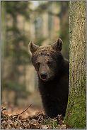 knuffiger Teddybär... Europäischer Braunbär *Ursus arctos*
