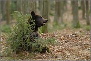 wo rohe Kräfte walten... Europäischer Braunbär *Ursus arctos*