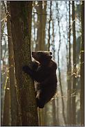 ganz schön flink... Europäischer Braunbär *Ursus arctos*