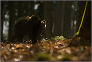 dämmerungsaktiv... Europäischer Braunbär *Ursus arctos*