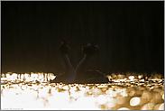 Goldhochzeit... Haubentaucher *Podiceps cristatus*