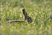 Häschen auf der Wiese... Feldhase *Lepus europaeus*