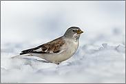 im Schnee... Schneesperling *Montifringilla nivalis*