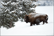 Nationaltier der USA... Amerikanischer Bison *Bison bison*