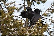 gemeinsam... Kolkraben *Corvus corax*