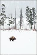 in der Weite der Landschaft... Amerikanischer Bison *Bison bison*