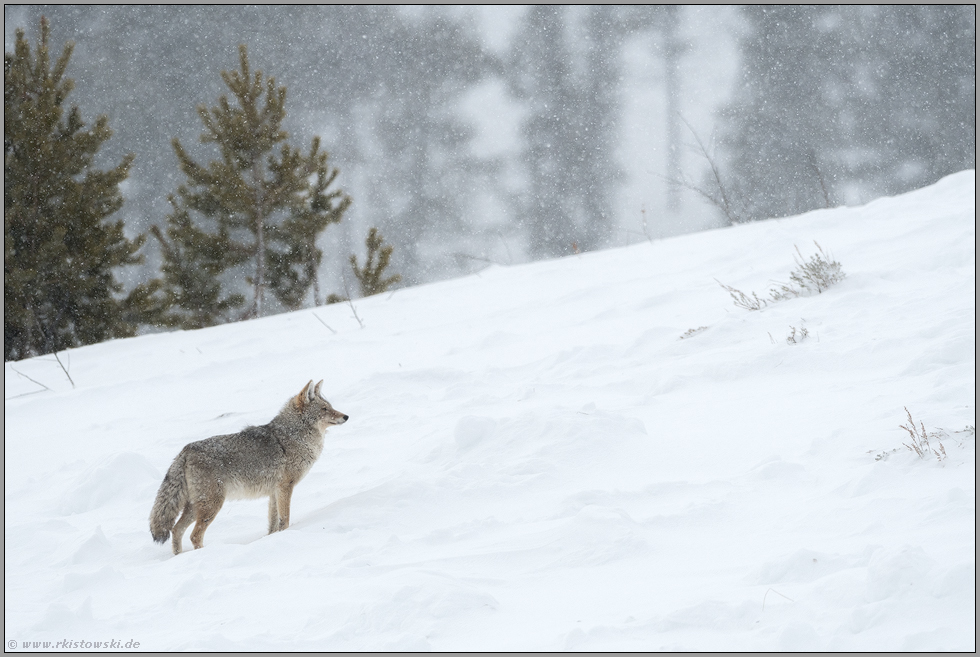 bei Schneefall... Kojote *Canis latrans*