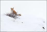 vorsichtig beobachtend... Amerikanischer Rotfuchs *Vulpes vulpes fulva*