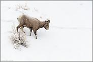 in verschneitem Gelände... Dickhornschaf *Ovis canadensis*