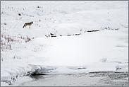 im Tal des Soda Butte Creek... Kojote *Canis latrans*