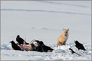 vorsichtig abwartend... Amerikanischer Rotfuchs *Vulpes vulpes fulva*