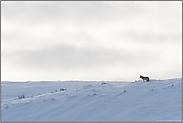 weites Land... Kojote *Canis latrans*