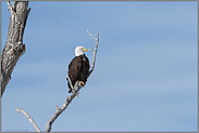 im Baum... Weisskopfseeadler *Haliaeetus leucocephalus*