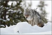 eis- und schneeverklumpt... Kojote *Canis latrans*