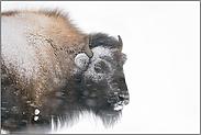 im Blizzard... Amerikanischer Bison *Bison bison*