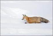 den einfachsten Weg... Amerikanischer Rotfuchs *Vulpes vulpes fulva*