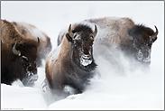 Stampede...  Amerikanischer Bison *Bison bison*