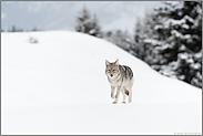 bei leichtem Schneefall... Kojote *Canis latrans*