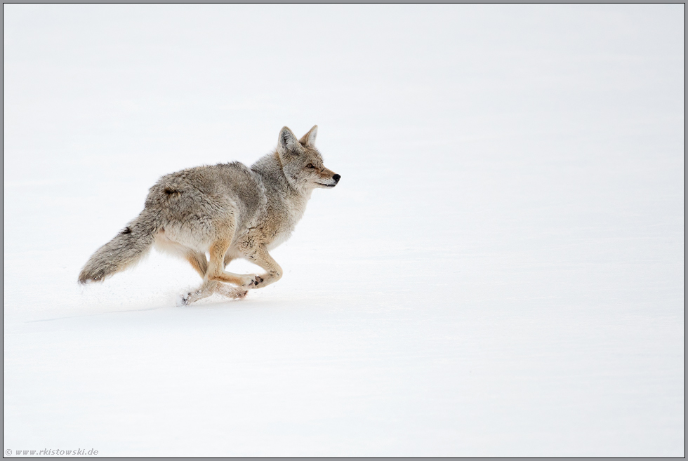 on the run... Kojote *Canis latrans*