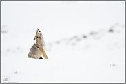 heulender Kojote... Kojote *Canis latrans*