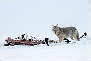 am Riss... Kojote *Canis latrans*