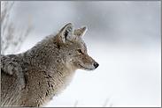 stiller Beobachter... Kojote *Canis latrans*