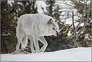nach dem Fressen... Timberwolf *Canis lupus*