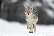 unterwegs... Kojote *Canis latrans*