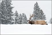bis zum Bauch durch den Schnee... Wapiti *Cervus canadensis*
