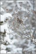 hoch oben im Baum.. Kragenhuhn *Bonasa umbellus*