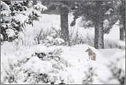 starker Schneefall... Kojote *Canis latrans*