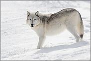 im Schnee... Timberwolf *Canis lupus*