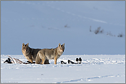 zu zweit am Riss... Kojote *Canis latrans*