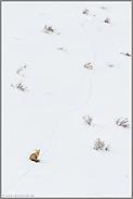 auf weite Distanz... Amerikanischer Rotfuchs *Vulpes vulpes fulva*