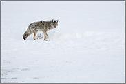 an der kleinen Wasserstelle... Kojote *Canis latrans*