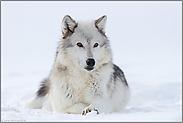 aufmerksam... Timberwolf *Canis lupus lycaon*