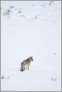Als Einzelgänger unterwegs... Kojote *Canis latrans*