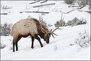Nahrungssuche im Schnee... Wapiti *Cervus canadensis*
