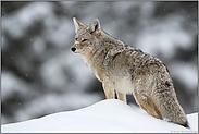 auf dem Schneehügel... Kojote *Canis latrans*