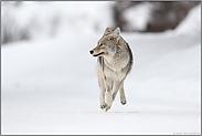 erschrocken... Kojote *Canis latrans*