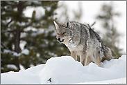 ein Raubtier... Kojote *Canis latrans*
