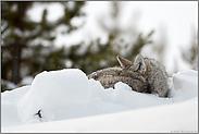 Schlafenszeit... Kojote *Canis latrans*